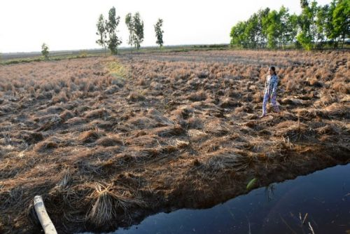 Hạn mặn khiến nhiều đồng lúa chết khô ở ĐBSCL (Ảnh: VietNamNet)