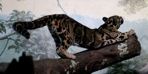 Báo gấm là loài báo bị buôn bán trái phép nhiều nhất trên thị trường chợ đen. (Ảnh: Charles Barilleaux/ Wikimedia Commons)