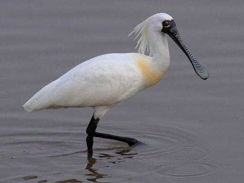 Loài cò mỏ thìa có trong Sách Đỏ Việt Nam 200 (Nguồn: carolinabirds.org)