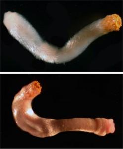 Loài giun Aplacophorans. (Ảnh: Wired.com)