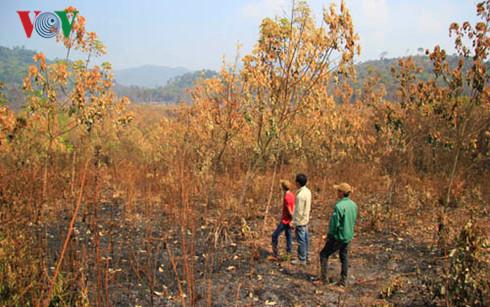 Không được chăm sóc, hàng trăm ha cao su trồng từ việc chuyển đổi rừng nghèo và đất lâm nghiệp đã bị cháy.