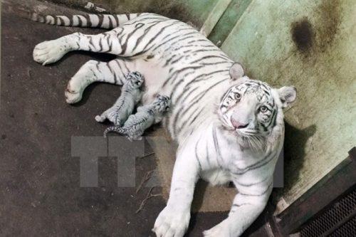 Hổ Bengal trắng quý hiếm được nhân giống thành công tại Thảo Cầm Viên Sài Gòn năm 2015 (Nguồn: TTXVN)