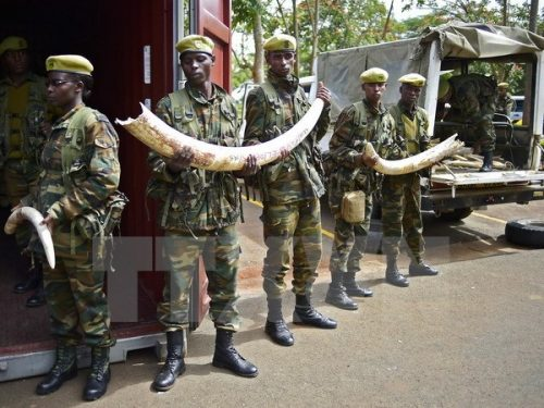 Binh sỹ Kenya chuyển ngà voi tới trụ sở KWS ở Nairobi ngày 15/4 (Nguồn: AFP/TTXVN)