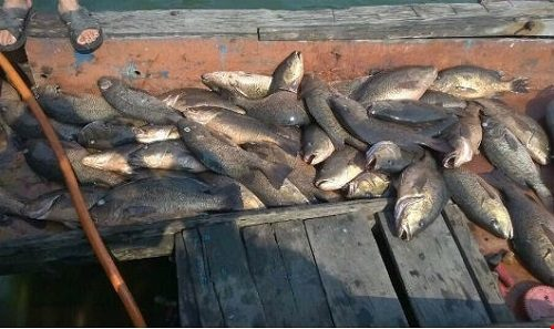 Cá chết hàng loạt tại các bè nuôi ở vùng biển Vũng Áng