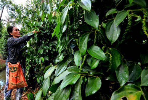 Bà Nguyễn Thị Út (ngụ ấp Hòa Tân, xã Hòa Hưng, huyện Giồng Riềng, tỉnh Kiên Giang) bên vườn tiêu năng suất cao (Ảnh: Bùi Chiên)