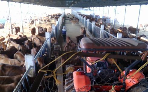 Bên trong trang trại bò của Tập đoàn Đức Long - Gia Lai xây dựng trên đất rừng đã chuyển đổi.