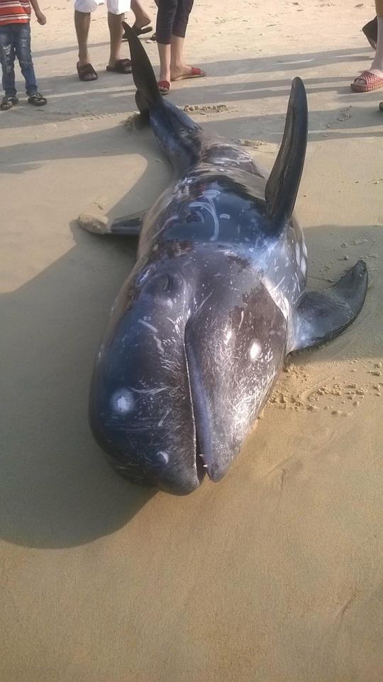 Cá voi chết trôi dạt vào bờ biển xã Phú Hải