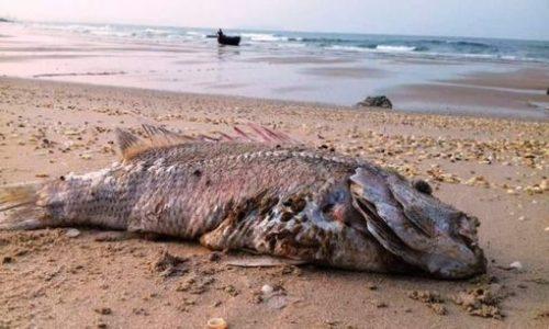 Cá chết ở bờ biển Kỳ Anh, Hà Tĩnh (Ảnh: phapluatplus.vn)