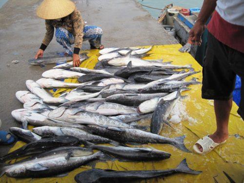 Các lồng bè nuôi cá bớp ở Hòn Thị, Vĩnh Lương, Nha Trang, Khánh Hòa (Ảnh: H.N.D)