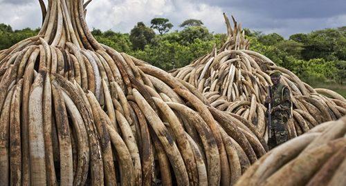 Số nhà voi trị giá 172 triệu USD bị Kenya tiêu hủy (Nguồn: AP)