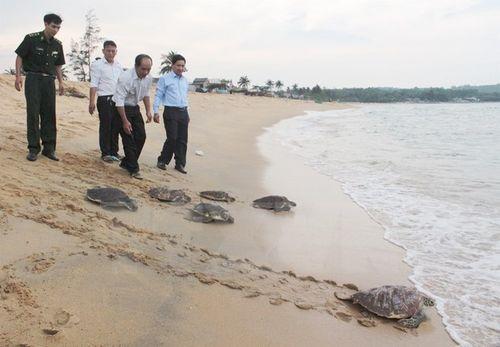 Quảng Ngãi tiến hành thả 6 cá thể rùa biển về tự nhiên