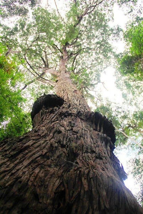 Một trong số cây Pơ mu công nhận Di sản Việt Nam ở huyện Tây Giang.