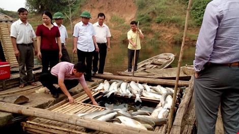 Cá nuôi lồng bè của nhiều hộ dân huyện Thạch Thành chết trắng bụng sau khi nhà máy mía đường xả thải ở thượng nguồ (Ảnh: Q.Huy)