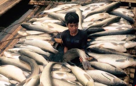 Cá chết trắng ở sông Bưởi trong đợt đầu tháng 5 vừa qua đã được Nhà máy mía đường Hòa Bình hứa sẽ đền bù với 80.000 đồng/kg (Ảnh: Minh Chuyên)