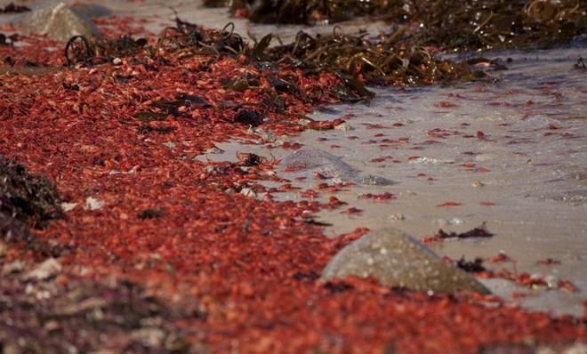 Hàng triệu con cua cá ngừ làm đỏ rực bờ biển tại California