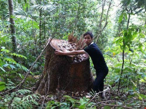 """Một cây gỗ có đường kính lớn đã được """"lâm tặc"""" đốn hạ"""