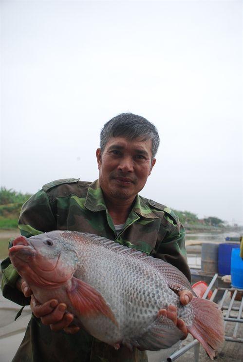Cá to bây giờ chủ yếu là cá nuôi