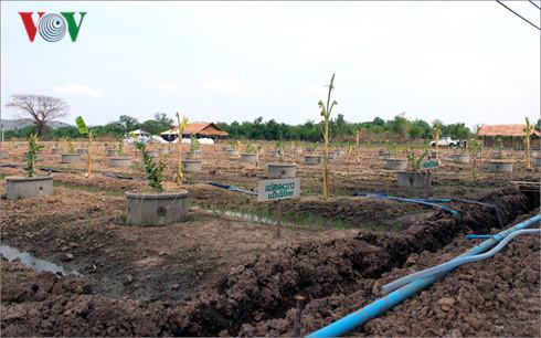 Mô hình trồng lúa xen canh với các loại cây trồng chịu hạn khác tại xã Nakhon Sawan tây, huyện Muang, tỉnh Nakhon Sawan.