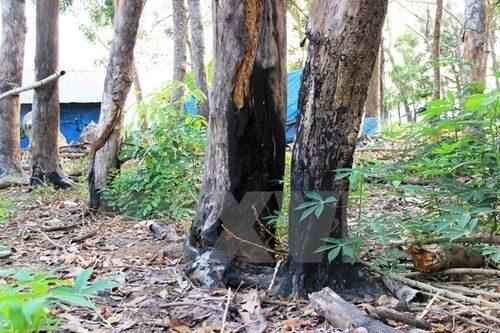 Những gốc cây rừng bị người dân đốt cho chết dần để lấy đất sản xuất. (Ảnh: Lê Đức Hoảnh/TTXVN)