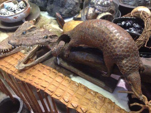 Tê tê, loài động vật bị săn bắt và buôn bán trái phép nhiều nhất trên thế giới để lấy vẩy và thịt. (Ảnh: Taronga Zoo)
