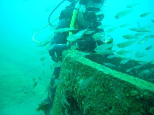 Các loài sinh vật biển về sinh sống sau 5 tháng tạo rạn tại Quảng Nam