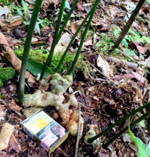 Cây sâm Ngọc Linh 7 nhánh quý hiếm trong vườn nhà ông Lĩnh. Ảnh: CTV