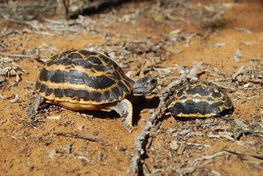 Cảnh sát Madagascar thu giữ 260 rùa con bị buôn lậu sang Thái Lan