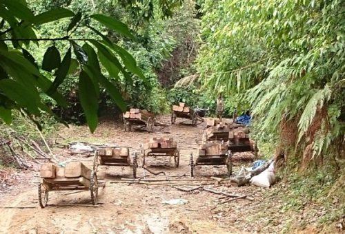 Xe trâu chở gỗ giăng kín lối đi trong rừng tự nhiên ở Quảng Trị (Ảnh: Đăng Khoa)