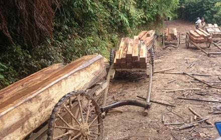 Mỗi xe trâu chở từ 0,3 đến 0,4m3 gỗ. Mỗi đoàn xe trâu đi khoảng 10 chiếc (Ảnh: Đăng Khoa)