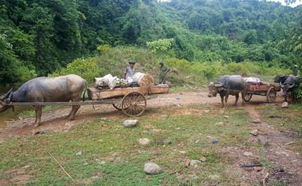 Xe trâu chở gỗ di chuyển trên đường Lò Than mà không gặp bất kỳ khó khăn nào.  (Ảnh: Hưng Thơ)