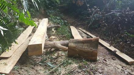 Khoảng 2h đi bộ từ bản 3 (xã Vĩnh Ô, huyện Vĩnh Linh, Quảng Trị) lên đến rừng tự nhiên, gỗ được rọc bìa, để ngay trên đường. (Ảnh: Hưng Thơ)