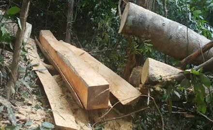 Những cây gỗ có đường kính từ 25cm đến 40cm sẽ bị triệt hạ. Lâm tặc chỉ lấy phần gốc, phần ngọn vứt bỏ. (Ảnh: Hưng Thơ)