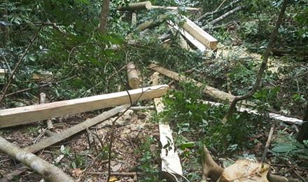 Riêng một khoảnh rừng tự nhiên này, tất cả các cây lớn đều bị cưa đổ, nằm ngổn ngang.  (Ảnh: Hưng Thơ)