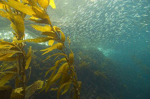 Tảo bẹ có thể giúp giảm axit hóa đại dương