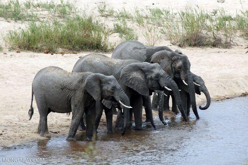 Hầu hết ngà voi tại Việt Nam đều nhập lậu từ Châu Phi. (Ảnh: Mongabay)