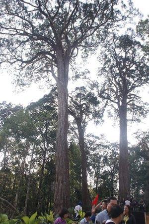 Rừng pơmu còn nguyên vẹn trên địa bàn huyện Tây Giang. Ảnh: Ngọc Phó