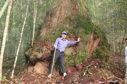 Nhiều cây pơmu cao to được bảo vệ nghiêm ngặt. Ảnh: Ngọc Phó