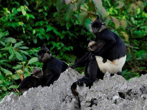 Voọc mông trắng, loài linh trưởng được đánh giá cao của Việt Nam. (Ảnh: Nguyễn Vân Trường)