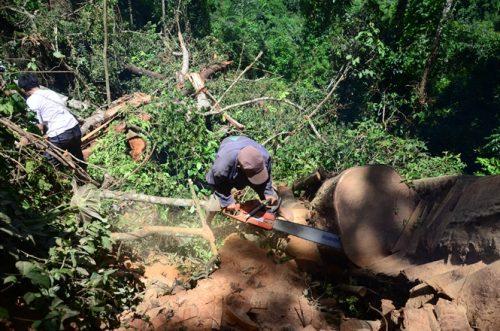 Những cây nghiến vài trăm năm tuổi đã bị chặt hạ