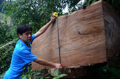 Lâm tặc xẻ cây nghiến có đường kính gần 2m làm thớt