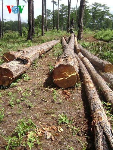 Lâm Đồng: Rừng vẫn mất từng ngày sau một quyết định vội vã