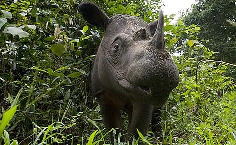 Một cá thể tê giác Sumatra (Nguồn: wwf.panda.org)
