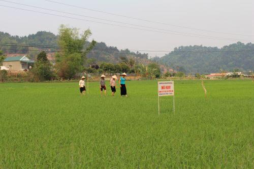 Mô hình canh tác lúa SRI tại Điện Biên (Ảnh: Hoàng Chiên/PanNature)