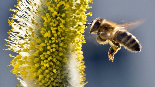 Cứu loài ong khỏi thuốc trừ sâu