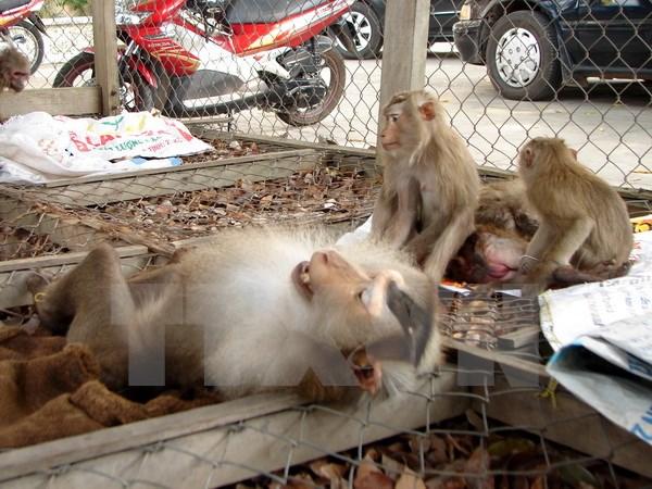 Bắt đối tượng vận chuyển hàng chục con khỉ đuôi lợn quý hiếm
