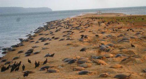Đàn rùa khổng lồ Amazon (Nguồn: Mongabay)
