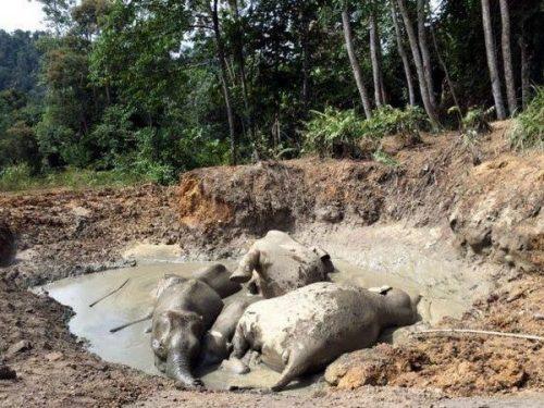 Các chú voi bị mắc kẹt trong ao bùn (Nguồn: Thestar.com.my)