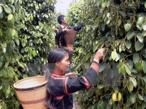 Thu hoạch hồ tiêu ở xã Ia Hrú, huyện Chư Sê, tỉnh Gia Lai (Ảnh: Sỹ Huynh/TTXVN)