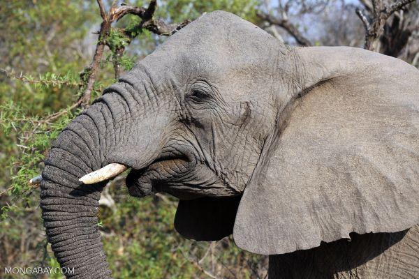 Các quốc gia ủng hộ lệnh cấm thị trường ngà voi nội địa