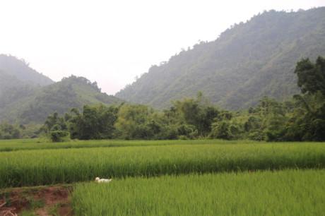 Ruộng lúa hai vụ của người dân bản Chiềng Nưa